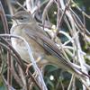 冬鳥シロハラとアカハラの違いと特徴【身近に見られる大型ツグミ】