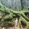 富士 青木ヶ原の樹海