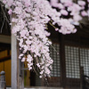 妙満寺の枝垂れ桜に会いに行った@2019