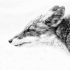 PORTRAIT KITA-KITUNE (Ezo red fox) - monochrome #0909