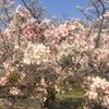 玉串川沿い!!まるで3D映画みたいに、こちらに迫ってくる桜が楽しめる、地元民しか知らないサクラランの隠れた名所!!