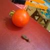 """【木曽さんちゅうは""""ぷちビッグダディ""""】第173回「ぷちビッグダディは思う""""野菜食わしたかったら作っちゃいなよ""""」"""