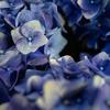 黒背景に浮かび上がる紫陽花クローズアップshots