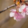 河津桜とウメジロー