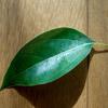 植物の不思議 クスノキ