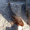ハゼに潜んでいた2種類の寄生虫。