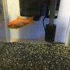 ash、実家で金魚を飼う(強制で飼育させられるようになる(笑))