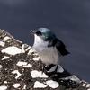 ベリーズ とてもキュートな Mangrove Swallow (マングローブ スワロー)