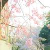 桜、散り始めました!