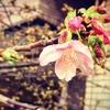 2019年 桜の開花予想♪~東京はあと1か月~