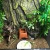 2017年 サキシマカナヘビ飼育④