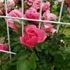 レオナルドダビンチというバラ