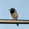 今年もハクセキレイがやってきた!! 巣作りから巣立ちまでを観察