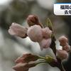福岡で19日に桜の開花を発表!満開は26日頃の予想!!