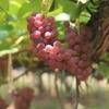 【ぶどう自家栽培】2年で収穫できる品種とオススメ品種