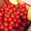 今年も熊本ミニトマト