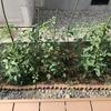 【家庭菜園】どうしてしまったんだ、きゅうり。原因を調べてみた。