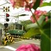 江ノ電 阿仏尼邸跡の紫陽花