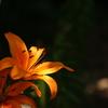 初夏の花-ユリ-