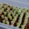 【多肉植物】ギムノカリキウム 海王丸さんの実生 9ヶ月が経過