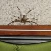 アシダカグモが家に出た時の感想