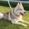 寿命が30年くらいあって欲しいと願うシベリアンハスキーの飼い主、最高齢更新するぞ!