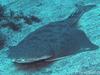 世界の海で出会った魚図鑑【カスザメ】