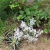 ジギタリスを植えました