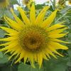 『萬葉集』に詠まれた「朝顔・朝貌」の花はどれでしょう?