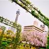 横浜・山下公園のしだれ桜2019