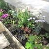 週末ガーデニング・・花壇の植え替えと、プリムラとチューリップ