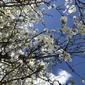 米カリフォルニアで桜にそっくりな街路樹を発見!