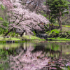 風景写真「秋田市の桜」