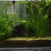 【メダカの混泳】メダカとエビは一緒の水槽で大丈夫