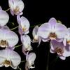 増殖した胡蝶蘭を三脚使ってちゃんと撮影。