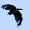 思い出の飛ぶブッポウソウ