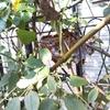 庭のアシナガバチの巣がどんどん大きくなってる!