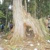 式年遷宮以外はヒノキ伐採ダメ…木曽悠久の森