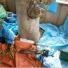 植木切断5−1(山桃の木 事例)