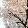 桜を見て感動するミニチュアシュナウザー