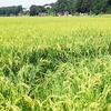 倒伏が始まった稲を短く切ってみました。倒伏は肥料流し込み施肥失敗が原因?