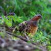 小綬鶏(コジュケイ)成鳥&幼鳥