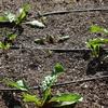 今日の庭 寒くならない冬の野菜作り