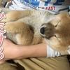 ひたすら寝る柴犬の赤ちゃん  Shiba Inu puppy sleeping well