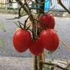 家庭菜園〜ミニトマト〜
