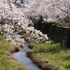 一の坂川:桜⑨