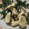 岩出菌学研究所さんからオオイチョウタケが届いたので食べてみました☆