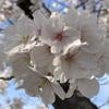 今年も桜に感謝です!どの桜も本当にきれいですよね。