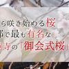 秋から咲き始める桜として京都で最も有名な妙蓮寺の「御会式桜」とは
