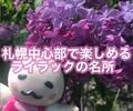 札幌中心部のライラックがフォトジェニック〜期間限定の彩りを大通公園と時計台で堪能レポ
